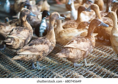 Group of ducks in farm, traditional farming in Thailand, animal farm. soft tone.