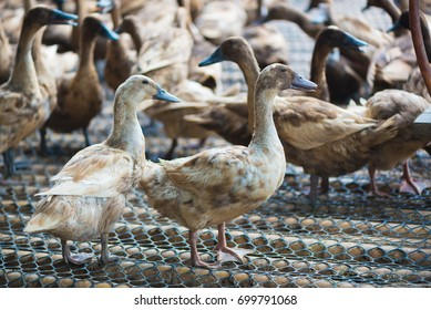 Group of ducks in farm, traditional farming in Thailand, animal farm.