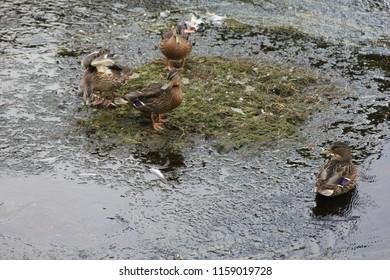 A group of ducks on the river Garavogue, co. Sligo