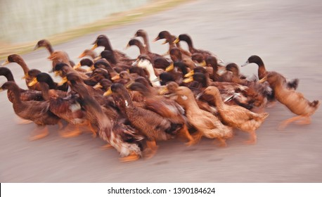 A group of ducks running in the street unique blurry photo