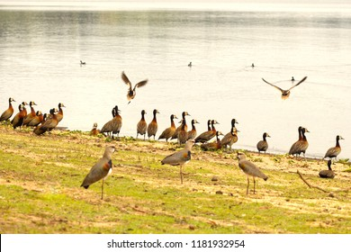 A group of ducks and  Southern lapwing