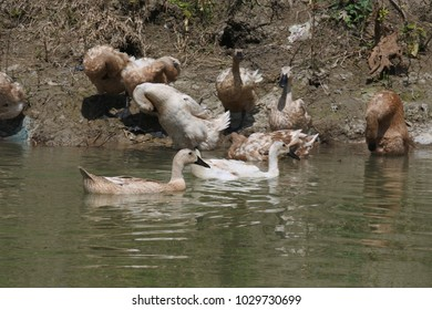a group of ducks swimming