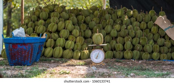 Group of durian in the farm for export