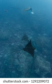 A group of eagle rays is spotted in the waters around the Galapagos