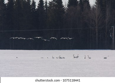 A group of early whooper swan in migration. Just a few and long distance. Ground covered by snow. No food.