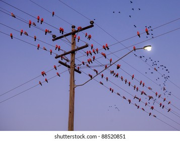 Group of Eclectus Parrots sitting on power pole