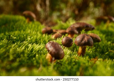 group of edible mushrooms in the forest