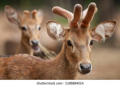 Group of Eld's deer, Thamin, Brown-antlered deer in Zoologigal Park, Thailand