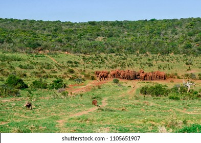 Group of elepants, 2 warthog in the foreground, landscape, Addo park, south africa