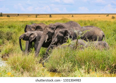 group of elepants drinking from a small watering hole, trunks extended