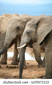 Group of Elephants in Addo National Elephants Park, South Africa.