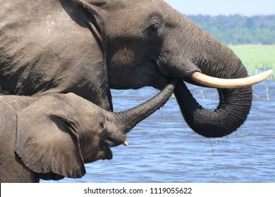 Group of elephants, adults and babies playing in the water during the noon in Chobe National Park, Botswana, Africa, during the dry season on a sunny day