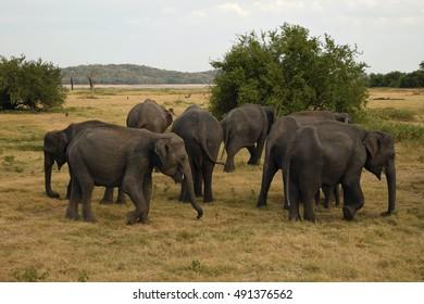 Group of elephants gathering at Kaudulla National Park, Sri Lanka