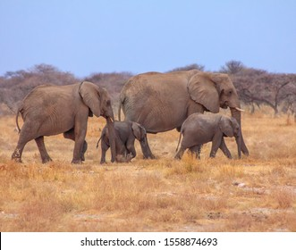 A group of elephants walking through Etosha National Park in Namibia, Africa