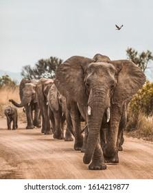 Group of elephants walking together