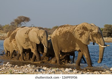 A Group of Elephants at waterhole; Loxodonta Africana