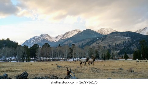 A group of elks in Rocky Mountain national park, in Colorado.