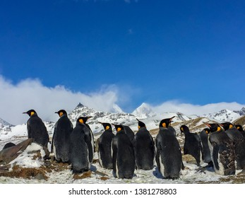 Group of Emperor Penguins chilling.
