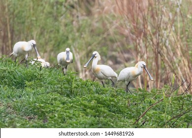 Group of Eurasian Spoonbills (Platalea leucorodia) Common Spoonbills