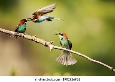 Group of European bee-eater arguing very seriously on a tilted branch against a green blurry background in bright sunlight.