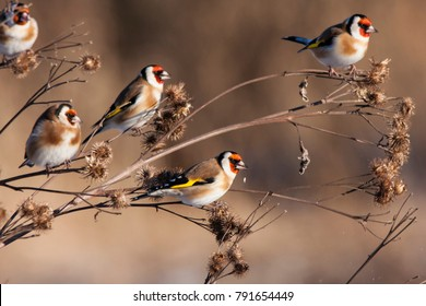 Group of european goldfinches eating burdock in winter. Cute colorful little songbirds. Birds in wildlife.