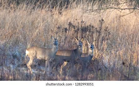 Group of European Roe Deer in cold sunrise light, Podlasie Region, Poland, Europe