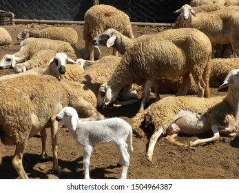A group of ewes inside a traditional hamlet in a village in southern Morocco.