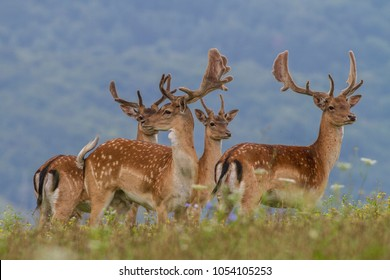 A group of Fallow Deer (Dama dama) on a meadow in the nature. Slavakia