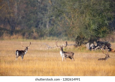 A group of Fallow Deer (Dama dama) on a meadow in the nature protection area Moenchbruch near Frankfurt, Germany.