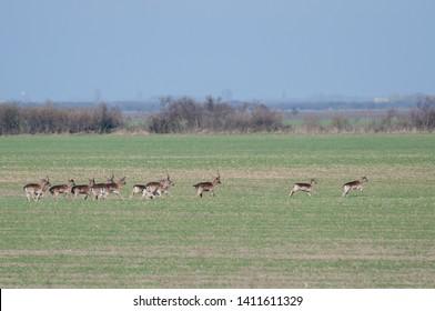 group of fallow deer (Dama dama) running away to the bushes