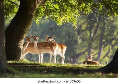 A group of fallow deer under a oak tree
