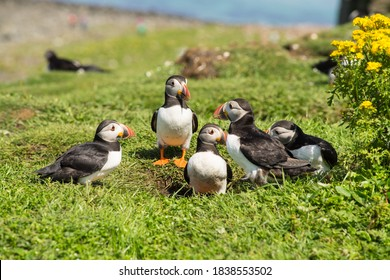 Group or family of Atlantic puffins, the common puffin, seabirds in the auk family, on the Treshnish Isles in Scotland UK