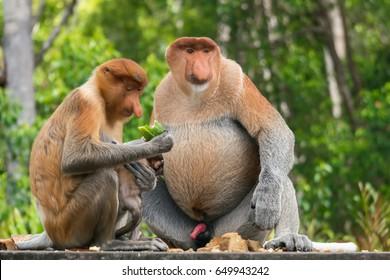 group of family proboscis monkey at Sandakan, Sabah, Malaysia.