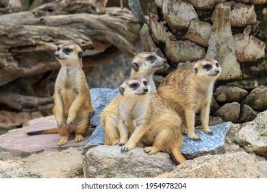 Group of family of Slender-Tailed Meerkats (Suricata suricatta)