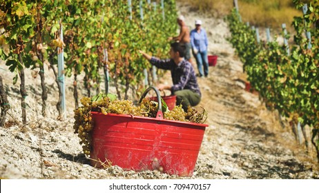 Group of farmer  in September to harvest vineyards ,check and  collects the selected grape bunches in Italy for the great harvest. bio concept, organic food, nature and fine wine handmade