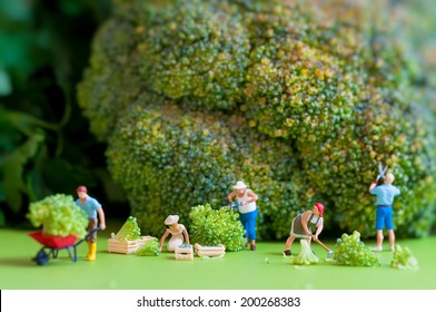 Group of farmers harvesting a giant cauliflower. Macro photography