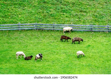 A group of fat beautiful sheep graze in the meadow behind the fence