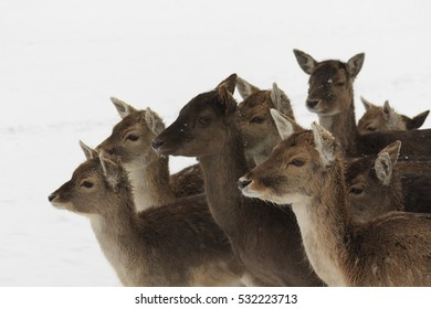 Group of female fallow deer (Dama dama) against a white snowy background, in a city park in Groningen, the Netherlands.