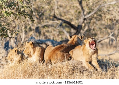 Group of female lions  in Africa, Botswana