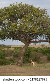 Group of female lions and cubs at a tree