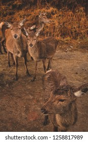 Group of female red deer looking away from camera in glen etive scotland united kingdom.