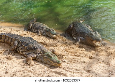 Group of ferocious crocodiles or alligators basking in the sun and maintained at Madras Crocodile Bank Trust located in Chennai, India and its one of popular tourists attraction and famous landmark
