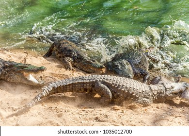 Group of ferocious crocodiles seen fighting for prey. Maintained at Madras Crocodile Bank Trust located in Chennai, India and its one of popular tourists attraction and famous landmark