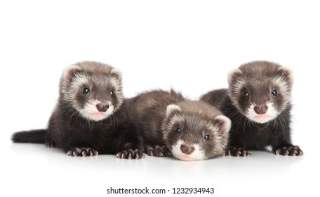 Group of Ferret puppies lying on a white background. Baby animal theme
