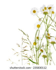 group of fine chamomile flowers on white background
