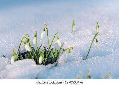 Group of first spring snowdrops flowers sticking out from the snow. Macro shot.