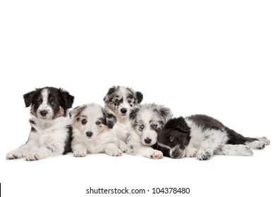 Group of five border collie puppies in front of a white background