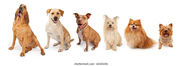 A group of five dogs of popular breed from large to small. Isolated on white.