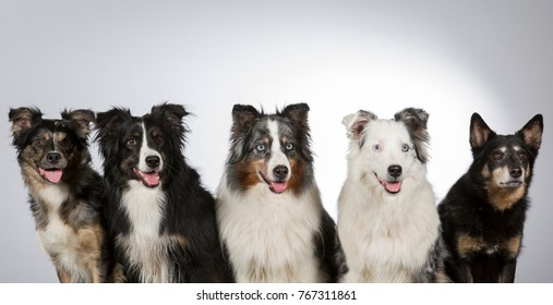 Group of five. Dogs in a studio, five dogs. Australian shepherd dogs. Panoramic shot. White background.