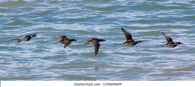 A group of five Long-tailed Ducks (Clangula hyemalis) flying low across the ocean in Nome, Alaska